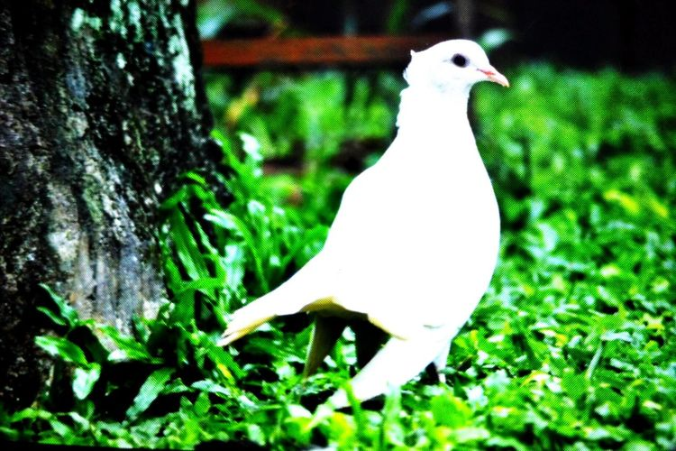 Nature No People Animals In The Wild One Animal Bird Animal Wildlife Animal Themes Beauty In Nature Merpatiputih INDONESIA