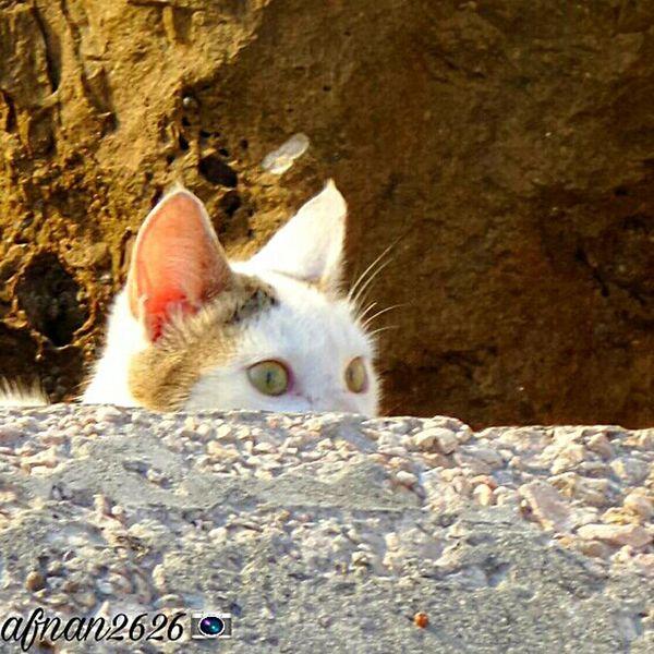 A Shy Cat القطة الخجوله KSA Afnan2626 Cat Cats قطة قطط سامسونج Samsung Camera Pictor Photo صورة صور صور قطط Photo Cat Pets Domestic Animals Domestic Cat Mammal One Animal Animal Themes Feline No People Portrait
