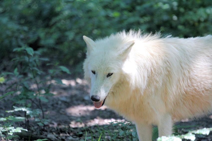 Animals Dangerous Park Predator Wild Wildpark Alte Fasanerie