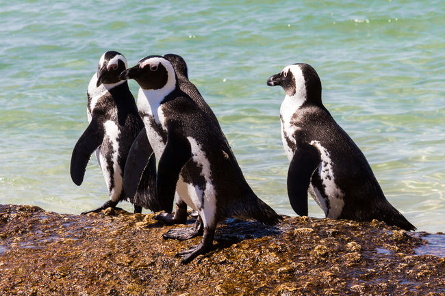 Penguins African Penguin Animal Themes Animal Wildlife Animals In The Wild Aquatic Beach Boulder Beach Colony Day Flightless Bird Horizontal Jackass Penguin Jackass Penguins Natural Habitat Nature No People Outdoors Penguins Sea South Africa Togetherness Water