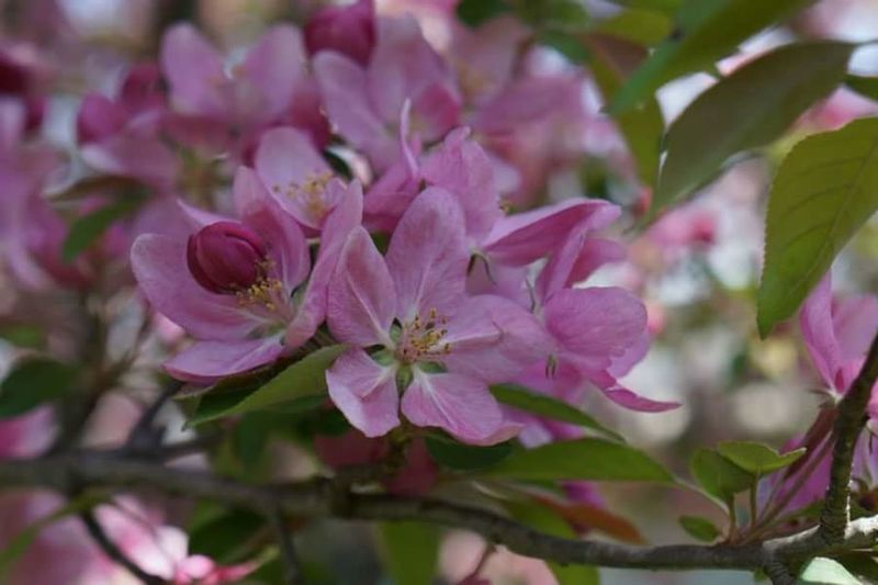 Crabapple Blossoms Spring Flowers Floral Photography Nature_collection Nature Photography Naturelovers