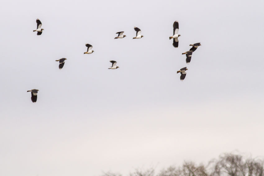 Lapwing in Beeder Bruch Animals In The Wild Lapwings Nature Plovers Take Flight Vanellus Vanellus Animal Themes Animals Life Animals World Bird Birds Birds Life Birds World Feather  Feathering Flight Flying Landscape Lapwing Lapwing Bird Lapwings In Flight Outdoors Plovers Plumage Wildlife