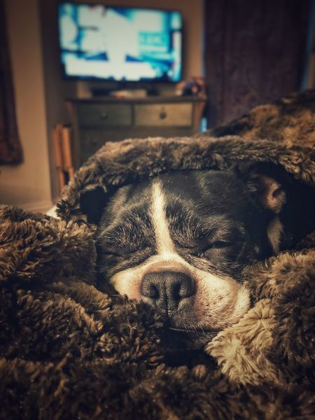 Extreme Snoozy Cam. #Zzzzzz Pets Animal Themes Mammal Dog One Animal Indoors  Sleeping Close-up Bed Relaxation