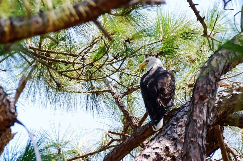 Backyard Nature Bald Eagle Florida