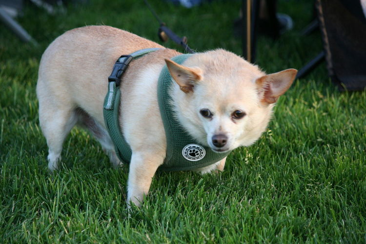 4th Of July 2016 Animal Animal Head  Animal Themes Close-up Cute Day Dog Domestic Animals Field Focus On Foreground Grass Grassy Green Color Growth Lawn Mammal Nature No People Outdoors Pets Portrait Puppy Selective Focus Young Animal