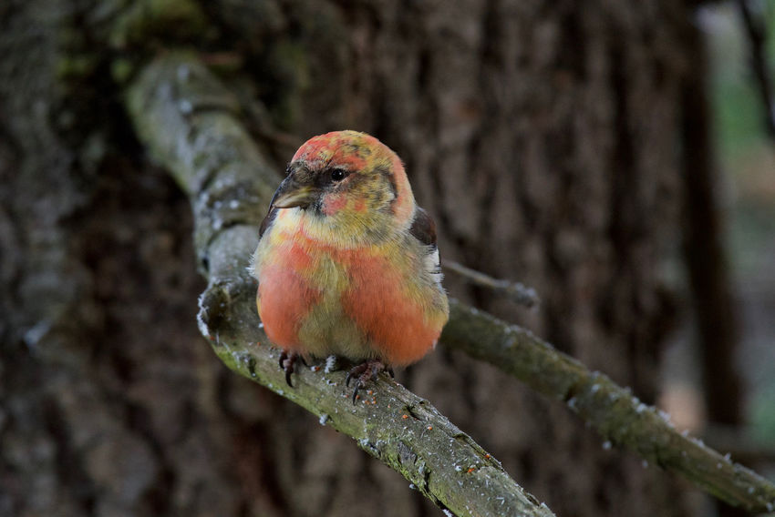 Two- barred crossbill Two- Barred Crossbill Winter Animal Themes Animal Wildlife Animals In The Wild Beauty In Nature Bird Close-up Day Focus On Foreground Loxia Leucoptera Male Nature No People One Animal Outdoors Perching Special Colour Unusual In Sweden
