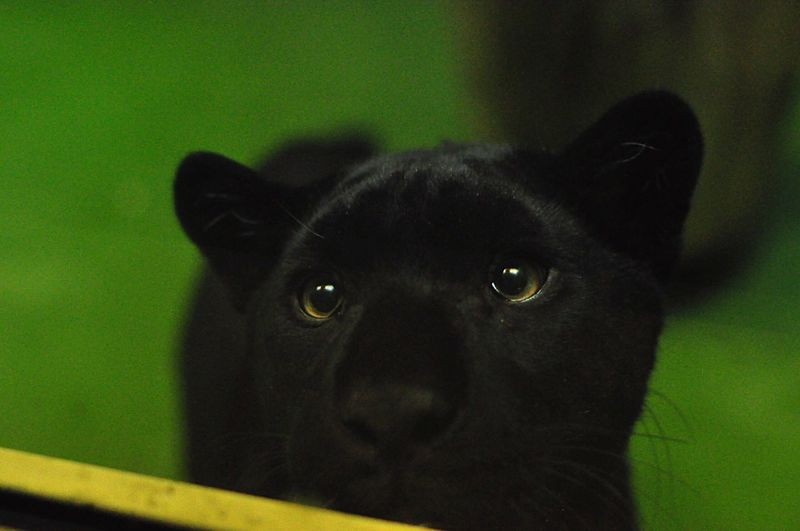 Panther EyeEmNewHere Predator Eyes Watching You Eyes Novosibirsk Zoo Little Panther Black Cat Animal Zoo Panther Domestic Animals One Animal Animal Themes Black Color Animal Head  Close-up No People Portrait EyeEmNewHere