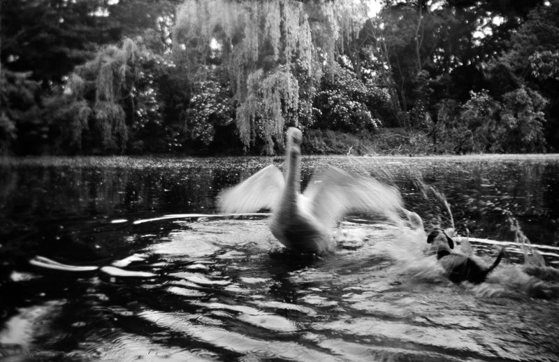 Animal Themes Water One Animal Bird Animals In The Wild Nature Lake Outdoors Day Waterfront No People Swimming Swan Tree Mammal Film Photography Analog Photography Monochrome Blackandwhite Bnw EyeEmNewHere Analog Mediumformat Motion Swans On The Lake