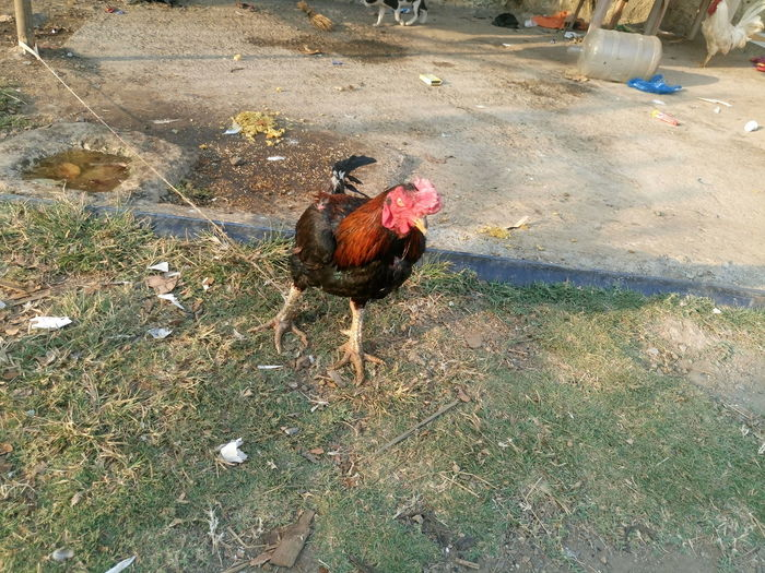 Rooster Animal Animal Themes Bird Carefree Chicken Chicken Day Dirty Domestic Animals Feather  Full Length Livestock Male Animal No People One Animal Outdoors Recreational Pursuit Relaxation Rooster Side View Two Animals Zoology
