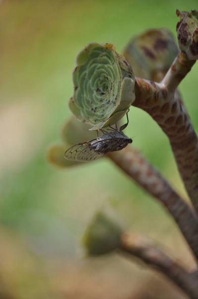 Cigarra Cicada Buzzer Insect Animal Photography Nature Insect Photography Insecto Nature_collection