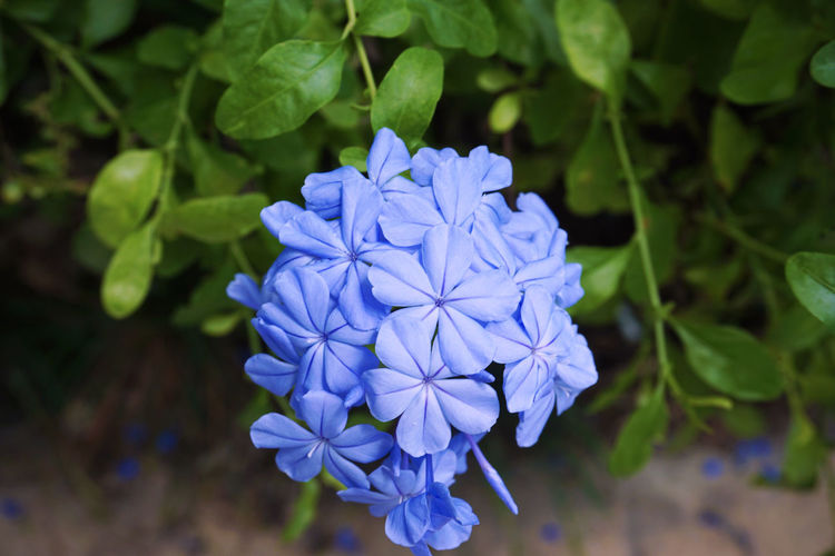 2015  Blooming Blue Day Flower Flower Head Freshness Growth Jamaica Leaf Montego Bay Nature Plant Purple ジャマイカ モンテゴベイ 花