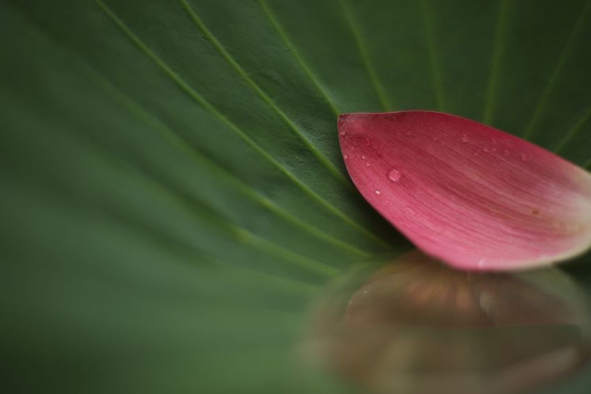 Tear drop. EyeEm Nature Lover Flowers Lotus Rainy Days Fukui Japan Canon5Dmk3 CarlZeiss Planar Bokehlicious