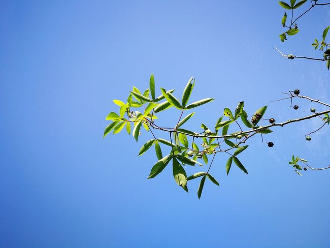 Green Color Blue Plant Leaf Clear Sky Nature Sky Outdoors Growth Day No People Tapioca Plant Malaysia Freshness Clear Sky