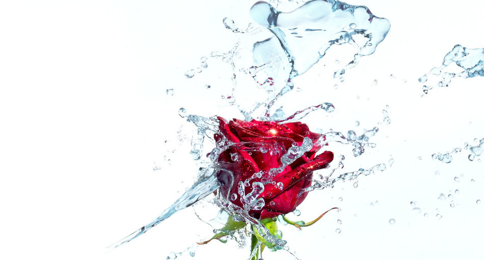 Close-up of red rose in water against white background