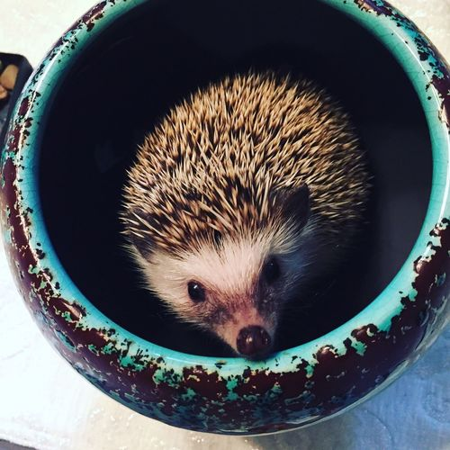 Portrait Of Hedgehog In Container