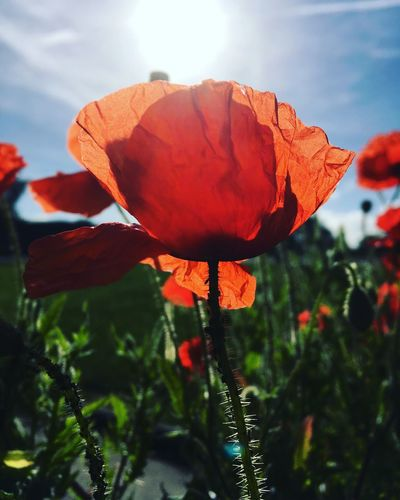 Sunlit poppy Flower Beauty In Nature Poppy Nature Petal Flower Head Blooming Focus On Foreground Sunlight No People Close-up Springtime Outdoors Growth Fragility Plant Freshness Day Leaf Tulip EyeEmNewHere