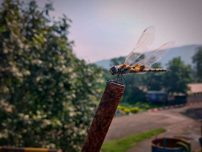 Basking in the daylightDragonfly Rusted Rod Rust Beauty In Nature Closeupshot Macro