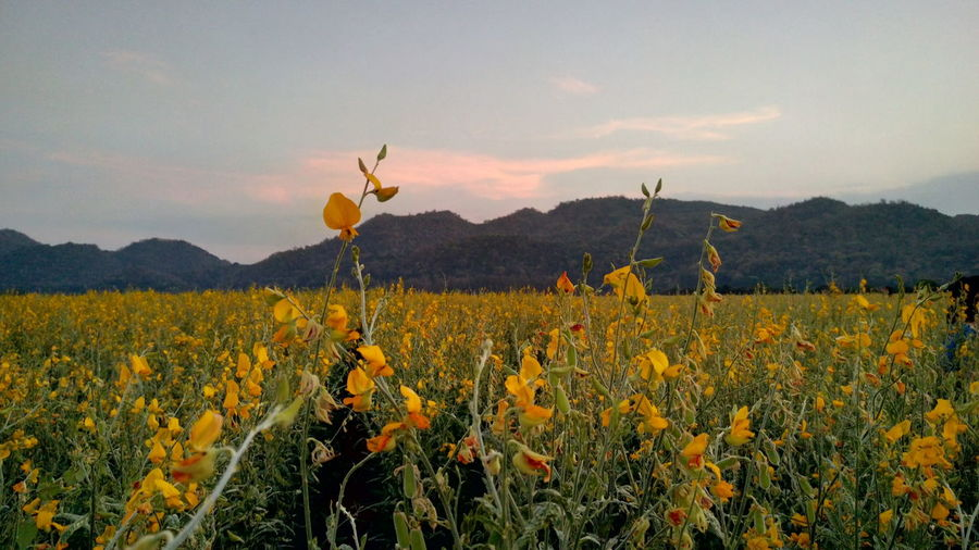 Sunn hemp with mountain Sunset Evening Sky Cloud Plant Leaf Scenery Scenics Scenics - Nature Farm Mountain Green Yellow Sunn Hemp Landscape Nature Flower Head Flower Tree Poppy Rural Scene Sunset Dawn Beauty Agriculture Plant Life Botany Farmland Blooming Blossom