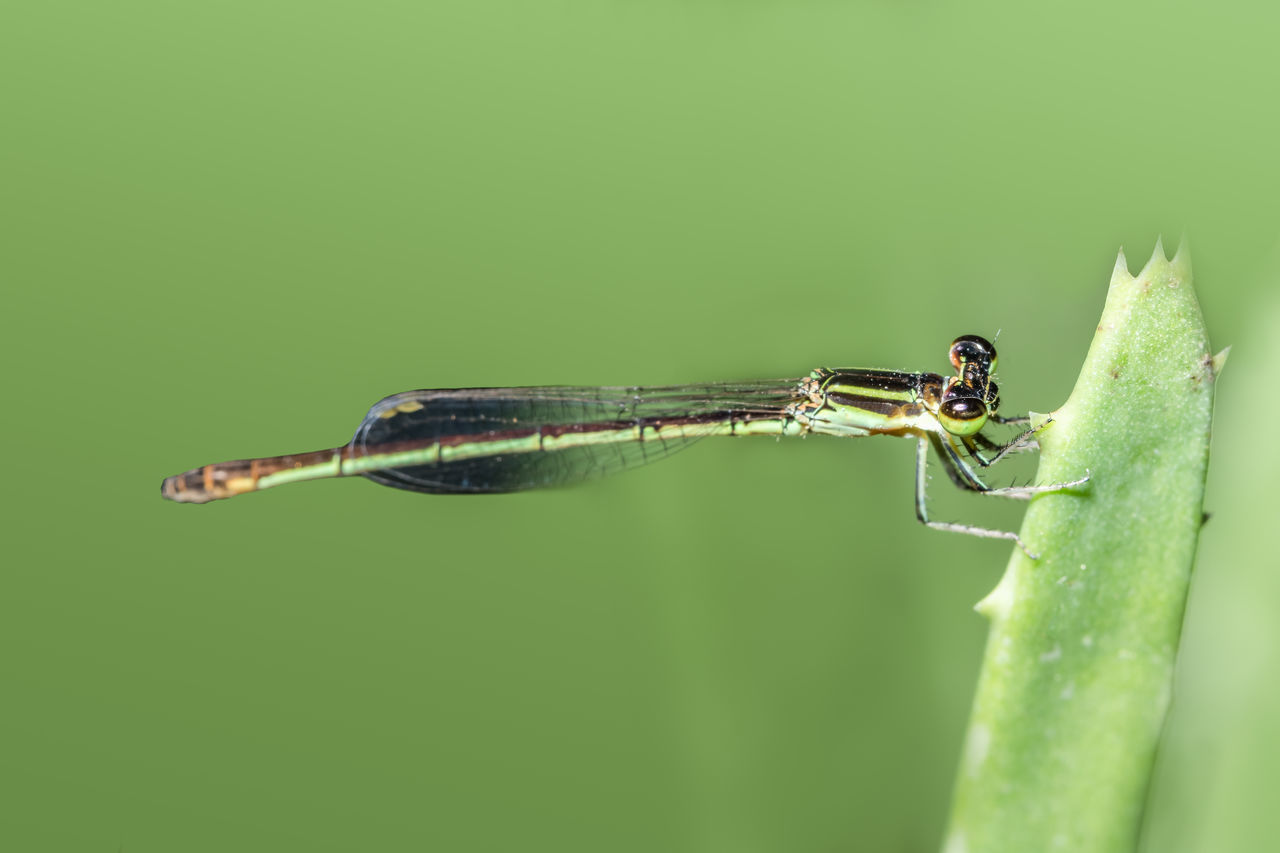 Close-Up Of Damselfly On Leaf Against Green Background