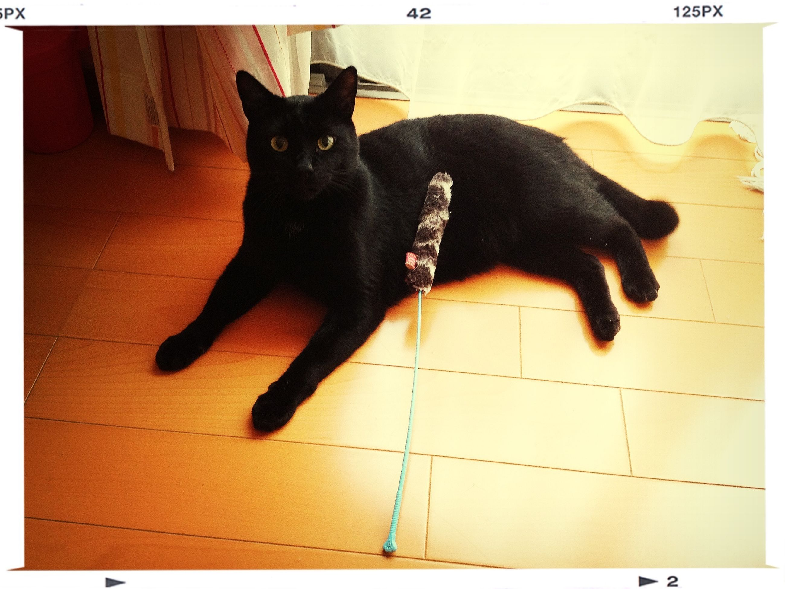 pets, domestic animals, domestic cat, animal themes, one animal, cat, mammal, feline, indoors, black color, relaxation, transfer print, portrait, black, full length, looking at camera, sitting, auto post production filter, alertness, lying down