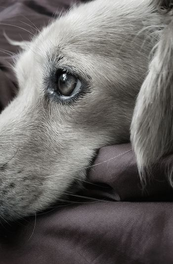 """""""Pillowsophy"""" Animal Themes AntiM Close-up Dackelblick Day Dog Dog Close-up Portrait Dog Portrait Dog Watching Dogs Of EyeEm Domestic Animals Indoors  Mammal No People One Animal Pets Pillowsophy SweetSally Pet Portraits"""