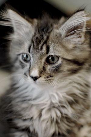 Mr. Milton Cat Portrait Kitten Pets Cat