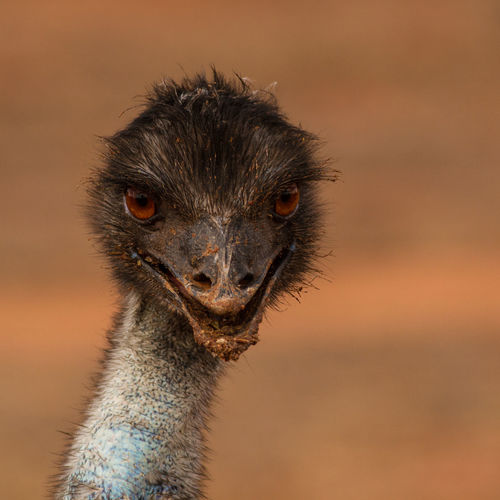 Angry Bird Animal Themes Animal Wildlife Animals In The Wild Bird Photography Dromaius Novaehollandiae Emu Evil Bird Nature Nature Photography No People Wildlife & Nature Wildlife Photography