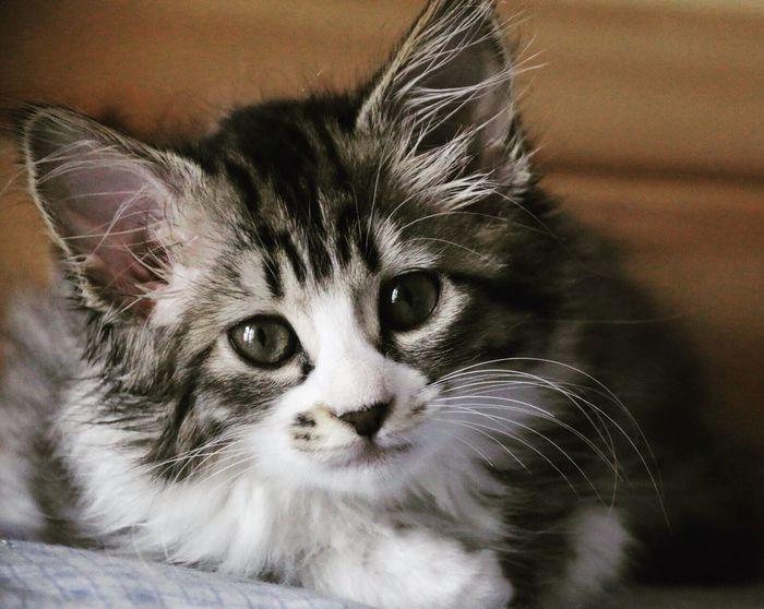 Aella Kitten AdoptDontShop Adopt A Shelter Pet Cat