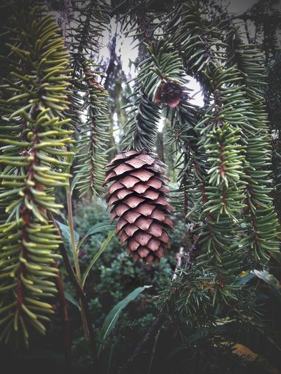 Forest Forest Photography Needles Twigs Cones No People Day Outdoor Outdoor Photography Nature Nature_collection Nature Photography Tree Green Color Plant