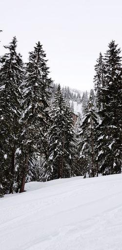 Snow Tree Cold Temperature Winter Sky Pine Tree Snowing Polar Climate Arctic Snowfall