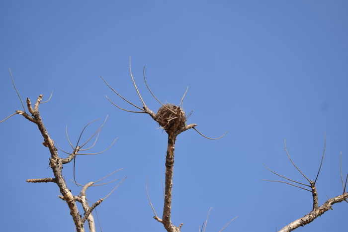 against the azure skies Empty Nest Bird Nest Indiapictures Wildlife & Nature EyeEm Selects Blue Animal Animal Wildlife No People Sky Nature Branch Rural Scene Outdoors Bare Tree