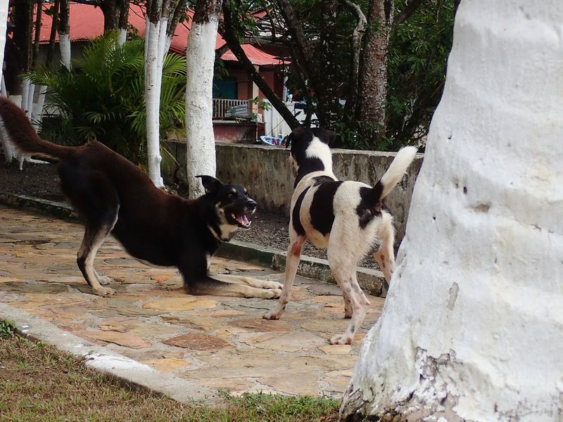 EyeEm Selects Domestic Animals Pets Dog Mammal Animal Themes Day No People Outdoors Nature In Motion Dogs Playing Together Action Happiness Guatemala 🇬🇹 Wanderlust Travel Nature
