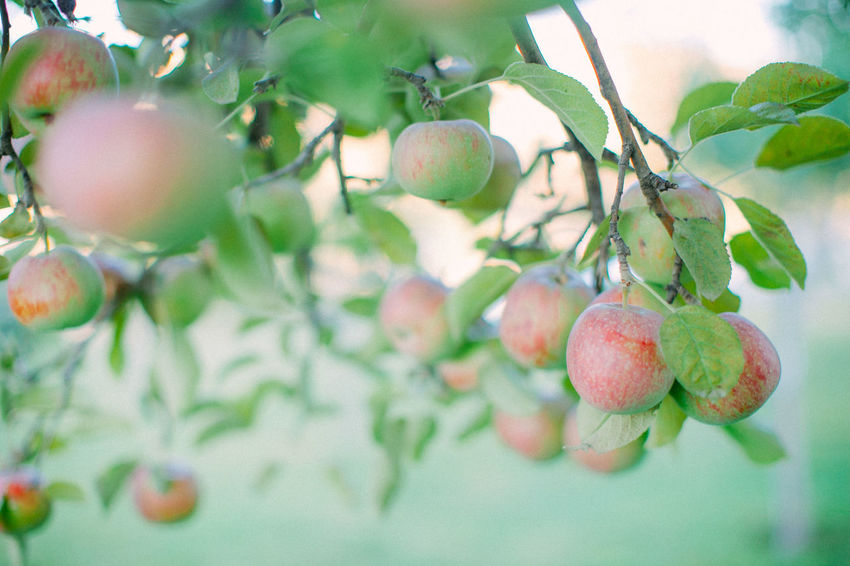 Apple Autumn Apples Food Food And Drink Freshness Fruit Fruits Growth Harvest Harvesting Healthy Eating Nature Tree