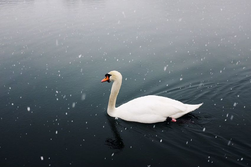 Lake Bird White Color Water Swan One Animal Animals In The Wild Swimming Animal Themes Nature Water Bird Animal Wildlife No People Beauty In Nature Outdoors Day Close-up Logarska Dolina Slovenia Fresh On Market 2016
