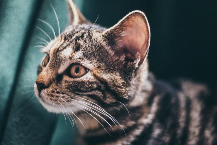 Pets Portrait Domestic Cat Feline Close-up Chihuahua - Dog Cat Pet Clothing Tabby Pet Bed Stray Animal At Home Lap Dog Domestic Animals Pampered Pets Ginger Cat Collar Animal Eye Tabby Cat Whisker Kitten