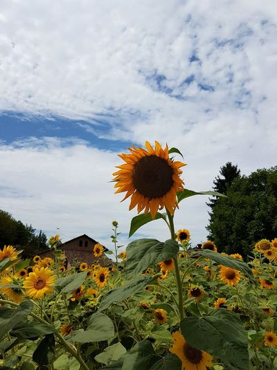 Flower Growth Nature Cloud - Sky Beauty In Nature Sky Day Outdoors No People Plant Tree Flower Head Freshness Fragility Close-up Rural Scene Growth Low Angle View Sunflower Yellow Tranquility