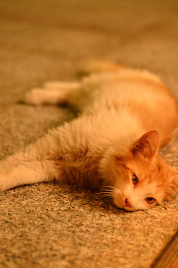 Close-up of a cat resting on rug