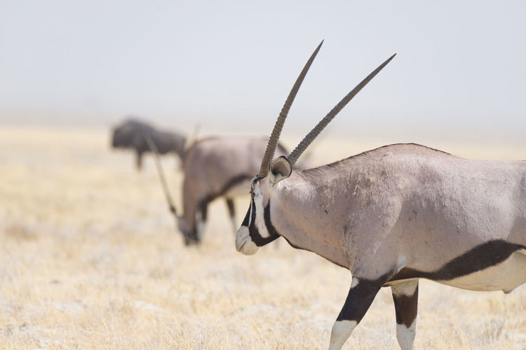Close-up of gemsbok standing on field against clear sky