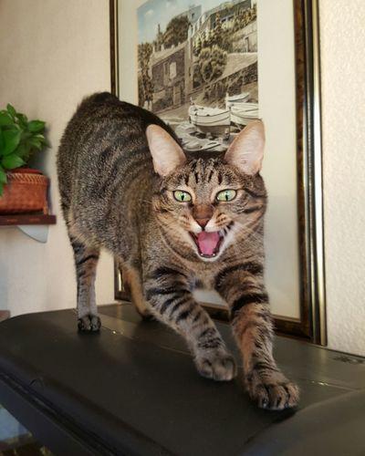 Feline Roar Purr Purrfect Cat Miau Meow Mouth Hungry Beautiful Cute Animals Animal Cats Of EyeEm