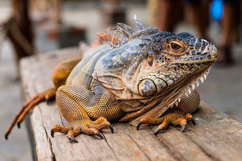 Iguana - The