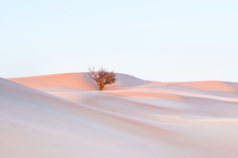 White sand dune and lone tree in al wathba desert in evening. abu dhabi. uae