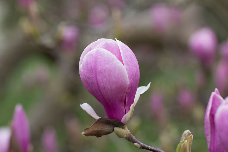 Flowering Plant Flower Plant Vulnerability  Fragility Beauty In Nature Growth Freshness Petal Pink Color Close-up Focus On Foreground Purple Nature Day Bud No People Inflorescence Flower Head Botany Springtime Outdoors Man