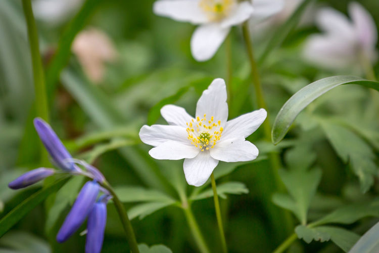 A wood anemone flower in springtime in Sussex, with a shallow depth of field Wood Anemone Flowering Plant Flower Plant Freshness Fragility Vulnerability  Beauty In Nature Petal Growth Inflorescence White Color Close-up Flower Head Pollen Nature No People Day Botany Leaf Plant Part Outdoors Springtime Purple Purity Sussex WoodLand