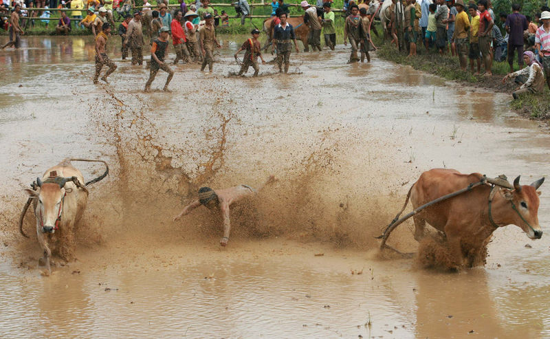 Local Gather Cow Race Pacu Jawi' in West Sumatra - Photo Story Day Mammal Nature Outdoors Pacu Jawi The Photojournalist - 2016 EyeEm Awards Water Need For Speed