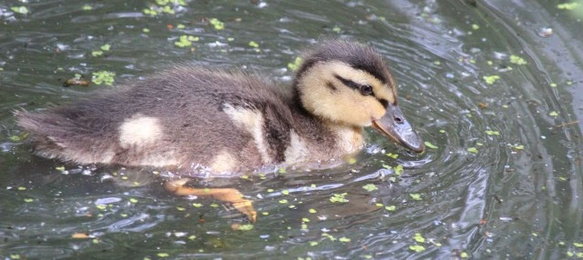 Duckling Animals In The Wild Animal Wildlife Animal Themes Animal Vertebrate Water Bird