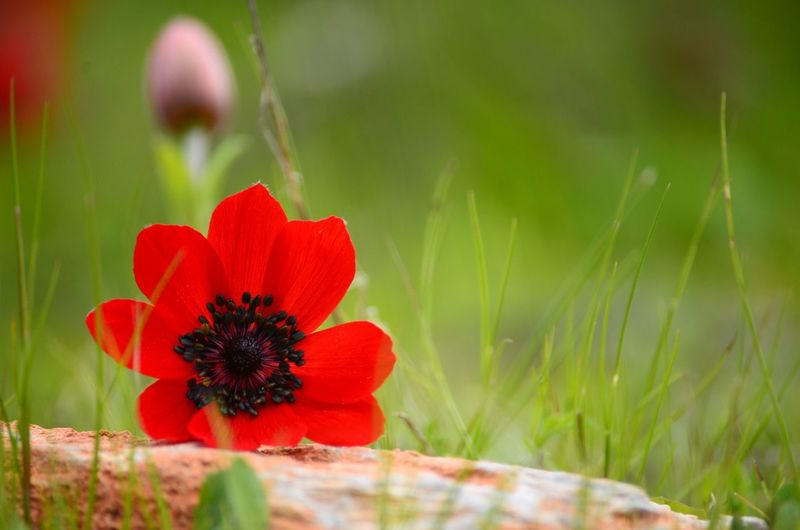 Close-up of red flower blooming in field