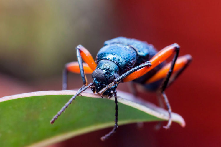 Long horn weevil view in close up Animal Themes Animal Wildlife Animals In The Wild Close-up Day Insect Long Horn Long Horn Beetle Long Horns Nature No People One Animal Outdoors Weeve Weevil