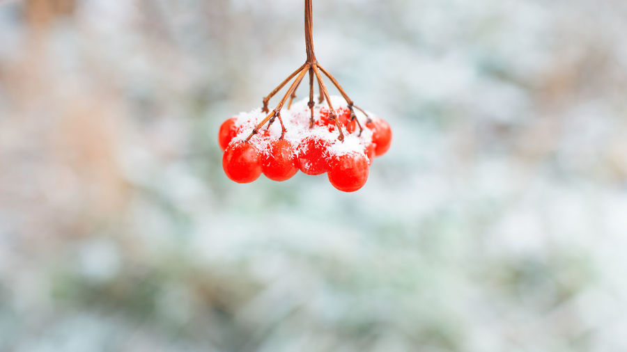 Red rowan berries on a branch close-up.winter background, copy space