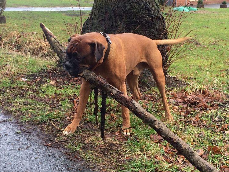 Tadaa Community Boxer Dogs Boxer I Love My Dog Dogs My Dog Dog