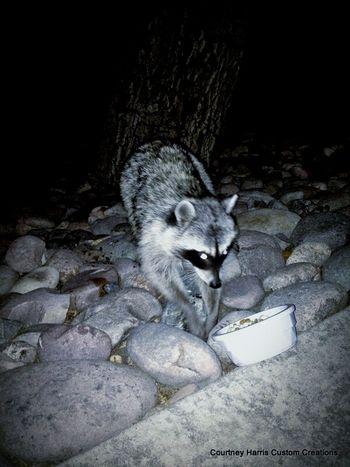 Pets Corner Raccoon Wild Animal My Raccoon Raccoon Corner Raccoon Lover